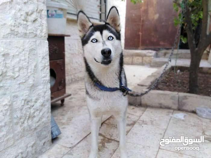 كلبا هسكي بسعر مغري جدا حررررق السعر قابل للتفاوض بلسعر ما اقصر