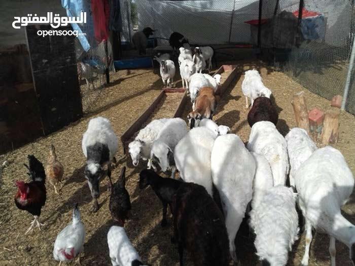 حباصي الدار مجموعه مداني مواليد فحل و ذبائح