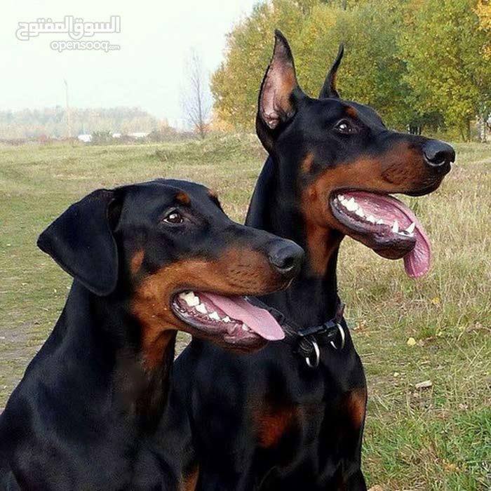 كلاب الدوبرمان / ألماني أصيل 100٪ للبيع / ذكر وأنثى