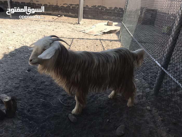 شاه رحبيه العمر سنه وشهرين مطلوب130 خاليه من العذاريب